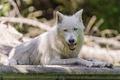 Картинка хищник, белый волк, ©Tambako The Jaguar