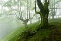 Картинка лес, деревья, туман, мох, склон
