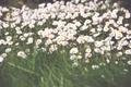 Картинка цветы, ромашки, лепестки, белые