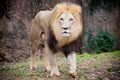 Картинка кошка, лев, грива, прогулка