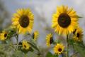 Картинка цветы, подсолнух, лепестки, цветение, flowers, petals, sunflower