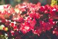 Картинка цветы, лепестки, красные, розовые