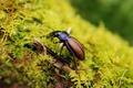 Картинка мох, жук, разноцветный, макро