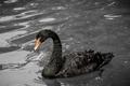 Картинка шея, грация, черный лебедь, водоем