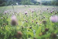 Картинка клевер, трава, лето