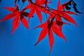 Картинка багрянец, клен, листья, осень