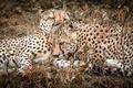 Картинка природа, фон, гепарды