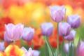 Картинка лепестки, сад, стебель, луг, тюльпаны