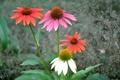 Картинка эхинацея, сад, лепестки, парк, природа, листья