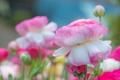 Картинка розовый, ранункулюс, азиатский лютик