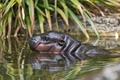 Картинка купание, профиль, бегемот, детёныш, ©Tambako The Jaguar