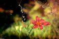 Картинка цветок, вода, макро, брызги, лилия