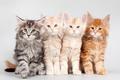 Картинка котята, квартет, мейн-кун
