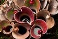 Картинка цветы, шипы, Венесуэла, насекомоядное растение, болотная кувшинка, Национальный парк Канайма