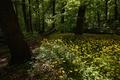 Картинка лес, деревья, цветы, ромашки, тропинка