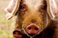 Картинка взгляд, фон, свинья