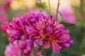 Картинка цветение, цветок, лепестки, георгин, полосатый