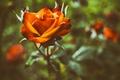 Картинка цветок, оранжевый, роза, лепестки