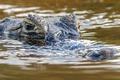 Картинка водоем, крокодил, хищник