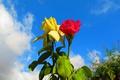 Картинка листья, небо, куст, сад, роза, бутон