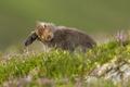 Картинка лето, природа, Mountain Hare