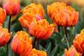 Картинка цветы, тюльпаны, оранжево - розовые