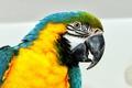 Картинка макро, птица, попугай