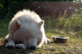 Картинка друг, собака, Samoyed