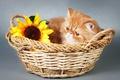 Картинка цветок, корзина, киса, flower, basket, Kisa