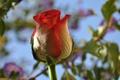 Картинка роза, лепестки, небо, макро, бутон