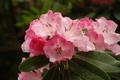 Картинка капли, розовая, лепестки, цветение, цветки, азалия