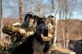 Картинка собака, армия, солдат