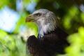 Картинка хищник, клюв, профиль, белоголовый орлан