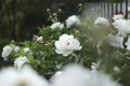 Картинка цветы, лепестки, белые