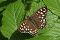 Картинка зелень, Пестрое дерево, Speckled Wood Butterfly, бабочка. листва