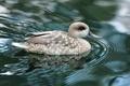 Картинка вода, перья, утка