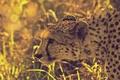 Картинка трава, блики, гепард, охота, южноафриканский