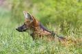 Картинка трава, волк, профиль, ©Tambako The Jaguar, гривистый