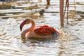 Картинка брызги, птица, купание, фламинго, водоём, ©Tambako The Jaguar