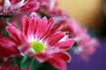 Картинка цветы, яркие, букет, розовые, хризантемы