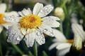 Картинка цветок, капли, макро, природа, лепестки, ромашка