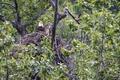 Картинка хищник, гнездо, на дереве, белоголовый орлан
