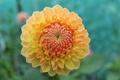 Картинка цветок, желтый, лепестки, бутон, цветение, георгин