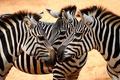Картинка white, black, eyes, Savanna, zebras, heads, necks