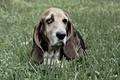 Картинка взгляд, друг, собака, Basset