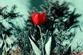 Картинка цветок, тюльпан, сад