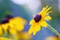 Картинка цветок, лето, природа, blossom, Black Eyed