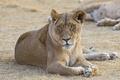 Картинка ©Tambako The Jaguar, львица, кошка