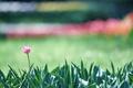 Картинка цветок, листья, тюльпан
