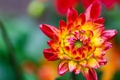 Картинка цветок, макро, растение, лепестки, хризантема